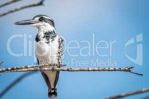 Pied kingfisher on a branch in the Kruger National Park.