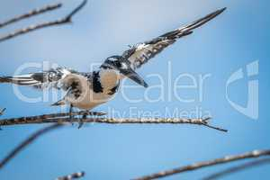 Pied kingfisher flying away in the Kruger National Park.