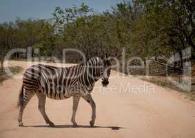 Walking Zebra in the Kruger National Park, South Africa.