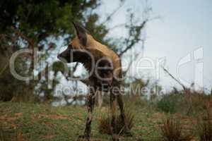African wild dog paying attention in the Kruger National Park, South Africa.