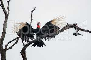 Southern ground hornbill in the Kruger National Park, South Africa.