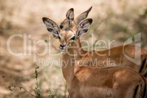 Impalas in the Kruger National Park, South Africa.
