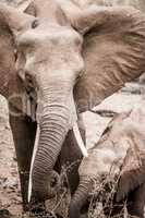 Baby Elephant with mother Elephant in the Kruger National Park, South Africa.
