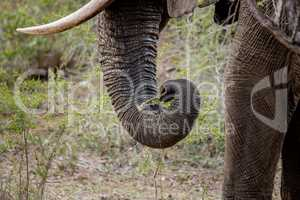 Trunk of an Elephant in the Kruger National Park, South Africa.