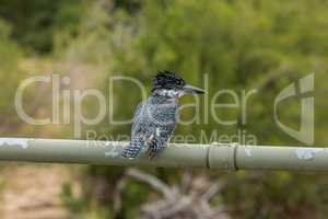 Giant kingfisher in the Kruger National Park, South Africa.