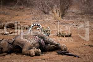 Leopard hiding behind an Elephant carcass in the Kruger National Park, South Africa.