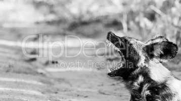African wild dog yawning in black and white in the Kruger National Park, South Africa.