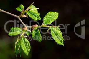 Frühling Zweig