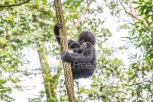 Baby Mountain gorilla in a tree in the Virunga National Park.