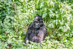 Silverback Mountain gorilla sitting in the Virunga National Park.