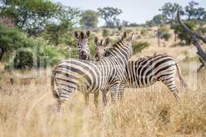 Bonding Zebras in the Kruger National Park.