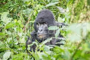 Starring SIlverback Mountain gorilla in the Virunga National Park.