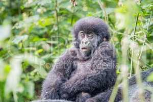 Baby Silverback Mountain gorilla in the Virunga National Park.