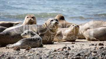 Harbor Seals - Phoca vitulina, Fitzgerald Marine Reserve, Moss Beach, California.