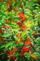 Blooming spring shrub