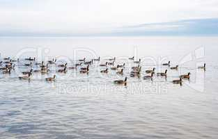Flock of Canada Geese swimming across lake.
