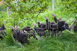Young turkey chicks on farm in the open