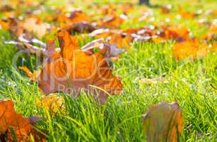 Dry maple leaf lying on green grass in the sun