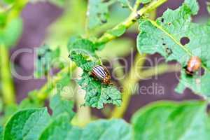 Colorado beetle and larva on potato leaves