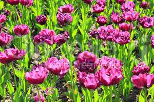 lilac tulips on the flower-bed
