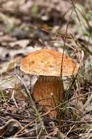 Porcini fungi (Boletus edulis)