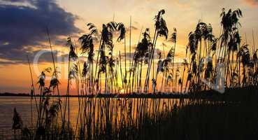 Reeds dawn