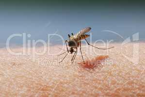 Mosquito blood sucking on human skin