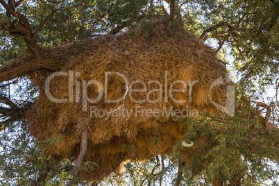 Nester der Siedelweber, nests of sociable weaver