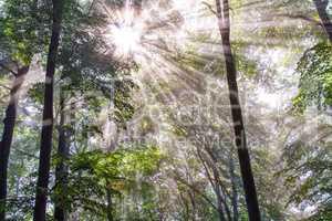 Sunbeams through foggy tree foliage
