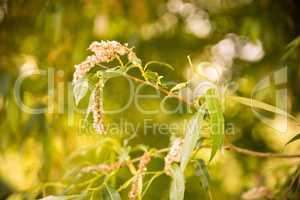 Ast mit Pollen