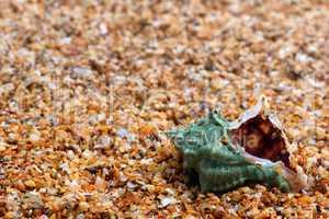 Wet seashell on sand