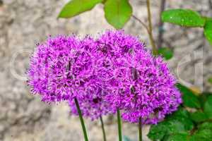 lila Zierlauch  Allium