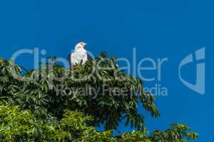 African fish eagle in treetop in sunshine