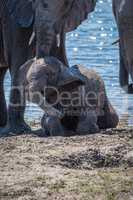 Baby elephant getting dust bath beside river