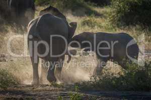 Baby elephants play fighting in dust cloud
