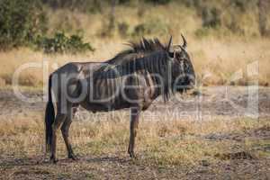 Blue wildebeest standing on savannah staring ahead