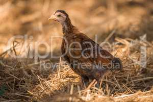 Chick in dry grass looking at camera