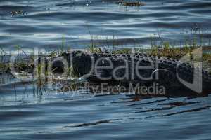 Close-up of Nile crocodile on grassy island
