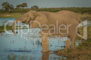 Elephant drinking from river in golden hour