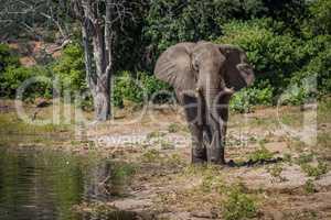 Elephant walking along wooded shoreline in sunshine