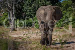 Elephant walking along wooded shoreline towards camera