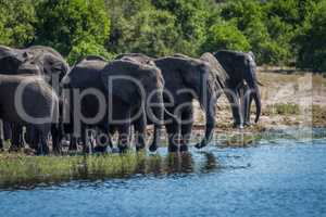 Herd of elephants drinking on wooded riverbank