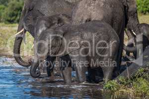 Herd of elephants drinking water in shallows