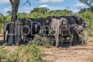 Herd of elephants in shade of tree