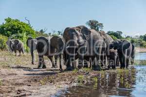 Herd of elephants walking along sunny riverbank