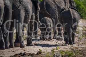 Herd of elephants walking away from camera