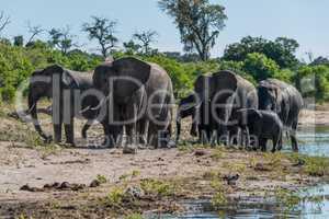 Herd of elephants walking along wooded riverbank