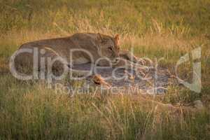 Lion awake beside another sleeping in grass