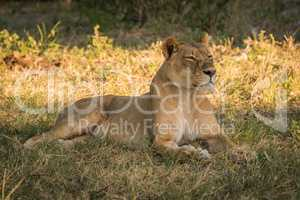 Lioness lies staring on grass in shade