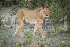 Lioness stalking prey in shade of bush